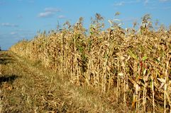 august cornfield Royaltyfri Foto