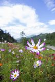 Clear skies and Cosmos bipinnata. In August, Cosmos in the mountains and fields. Cosmos bipinnata is the girl`s sincerity, the girl`s pure feeling, pure and royalty free stock photography
