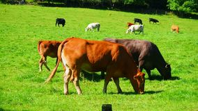 Cows grazing. August 2017: Cows graze in the sun for a wonderful summer day. August 2017 in Alford stock footage