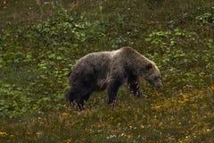 27. August 2016 - Grizzley-Bär, der auf Beeren auf Tundra des Innenraums Nationalparks Denali, Alaska weiden lässt Lizenzfreie Stockbilder