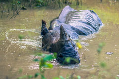 27. August 2014 - indisches Nashorn, das in Nationalpark Chitwan badet, Stockbilder