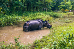 27. August 2014 - indisches Nashorn, das in Nationalpark Chitwan badet, Lizenzfreie Stockbilder