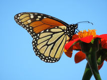 August Monarch Butterfly Feeding on the Nectar. Photo of monarch butterfly feeding on the nectar of a flower during summer. Soon the butterfly will travel to royalty free stock photo