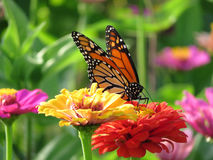 August Monarch Butterfly in the Garden stock photos