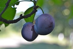 August and plum. My friend, do you like jam? Plum, sweet nectar Beautiful fruit and delicious Narva and I will give them to you royalty free stock images