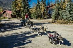 29. August 2016 - Schlittenhundetraining in der Sommerzeit an Kantishna-Roadhouse, Nationalpark Denali, Alaska Lizenzfreies Stockfoto