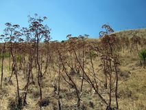 °the coutryside of the sicilian hinterland. August in sicily,  among scrubland, snails and vegetation Stock Photo