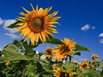 August-Sonnenblumen Stockfotografie