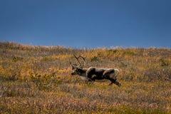 27. August 2016 - Stier-Karibu, das auf Tundra im Innenraum Nationalparks Denali, Alaska einzieht Lizenzfreies Stockfoto