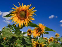 August sunflowers stock photography