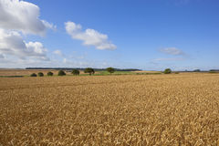 August wheat fields Royalty Free Stock Image