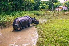Augusti 27, 2014 - indisk noshörningbadning i den Chitwan nationalparken, Arkivfoton