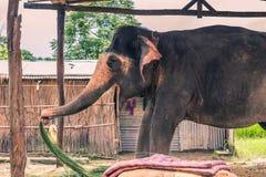27 augustus, 2014 - Binnenlandse olifant in Sauraha, Nepal Stock Foto's