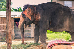 27 augustus, 2014 - Binnenlandse olifant in Sauraha, Nepal Stock Afbeelding