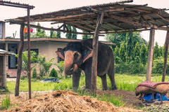 27 augustus, 2014 - Binnenlandse olifant in Sauraha, Nepal Royalty-vrije Stock Fotografie