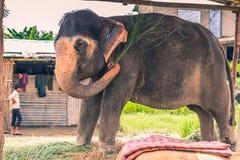 27 augustus, 2014 - Binnenlandse olifant in Sauraha, Nepal Stock Foto
