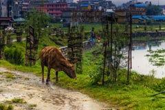 21 augustus, 2014 - Koe in Pokhara, Nepal Stock Afbeelding