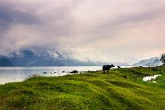 21 augustus, 2014 - Stier in Phewa-Meer in Pokhara, Nepal Stock Foto's