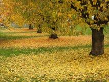 Auitomne, Les feuilles de cerisiers Images libres de droits