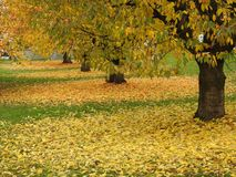 Auitomne, Les feuilles de cerisiers Стоковые Изображения RF