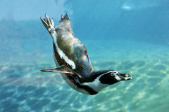 auk κολυμπήστε στοκ φωτογραφία με δικαίωμα ελεύθερης χρήσης