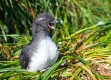 Auklet длиннохвостого попугая Стоковые Фото