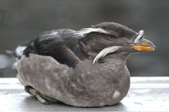 Auklet de rhinocéros au centre de l'Alaska Sealife Photo stock
