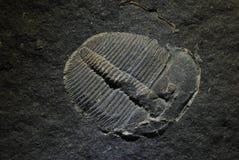 Aulacopleura. Paleozoic Ordovician trilobite aulacopleura konicki from Barrandien in the central bohemia Royalty Free Stock Photography