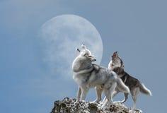 Aullido de dos lobos en la luna Foto de archivo