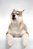 Aullidos del perrito del husky siberiano Imagenes de archivo
