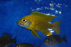 Aulonocara baenschi Cichlid Royalty Free Stock Photos