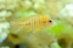 Aulonocara Baenschi Fish in Aquarium Stock Photo
