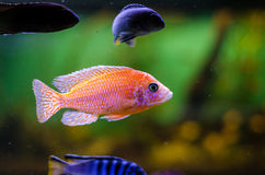 Aulonocara cichlid. A red Aulonocara cichlid, known as firefish in an aquarium Stock Photography