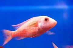 Aulonocara fish Stock Image