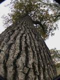 Aumentato vertiginosamente un albero Fotografie Stock Libere da Diritti