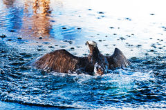 Aumento del falco pescatore dall'acqua blu Immagine Stock