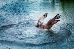 Aumento del falco pescatore dall'acqua con le ali spante Immagini Stock