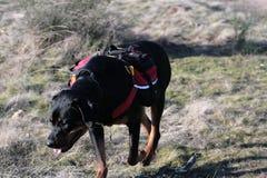 Aumento di Rottweiler fotografie stock