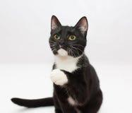 Aumentos adolescentes del gatito blanco y negro el pie del presser Fotos de archivo libres de regalías