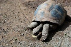 äta den jätte- sköldpaddan Fotografering för Bildbyråer