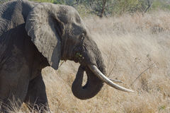äta elefanten Arkivfoton