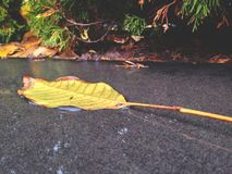 autumn leaf fall, day after rain royalty free stock photos