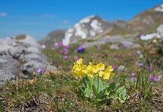 Aurícula de la prímula - lleva el wildflower del oído, protegido fotografía de archivo libre de regalías