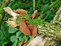 Aurícula-judae do Auricularia dos cogumelos Imagem de Stock