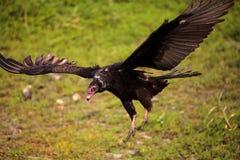 Aura de Cathartes de vautour de Turquie au parc d'état de rivière de Myakka images stock