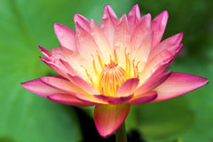 Aura Hybrid Waterlily Fotografia Stock