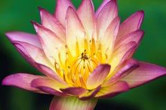 Aura Hybrid Waterlily Royalty-vrije Stock Foto's