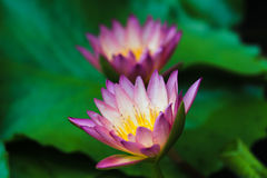 Aura Hybrid Waterlily Immagini Stock