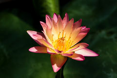 Aura Hybrid Waterlily Immagine Stock