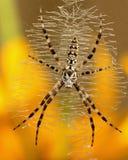 aurantia argiope Стоковая Фотография RF